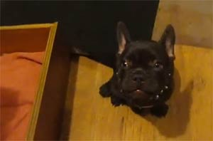 Frog-Frenchie-Fun-French-Bulldog-Puppy-Argues-Bedtime