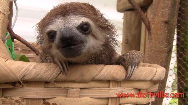 Sloth Squeak
