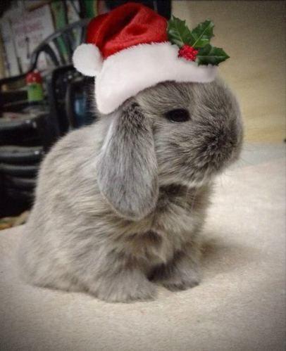 bunny in santa hat