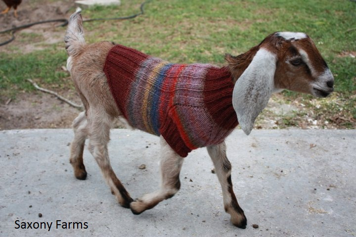 goat in ugly sweater