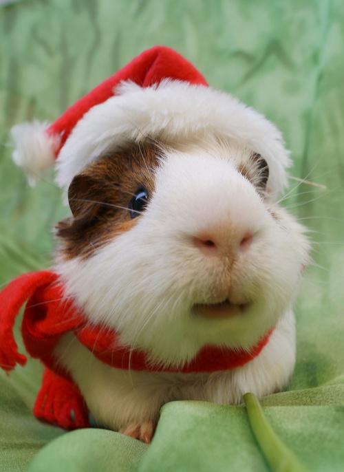 guinea pig in santa hat