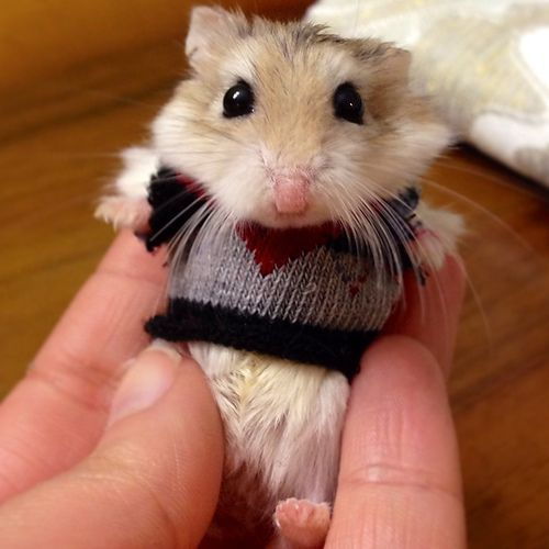 hamster in ugly sweater