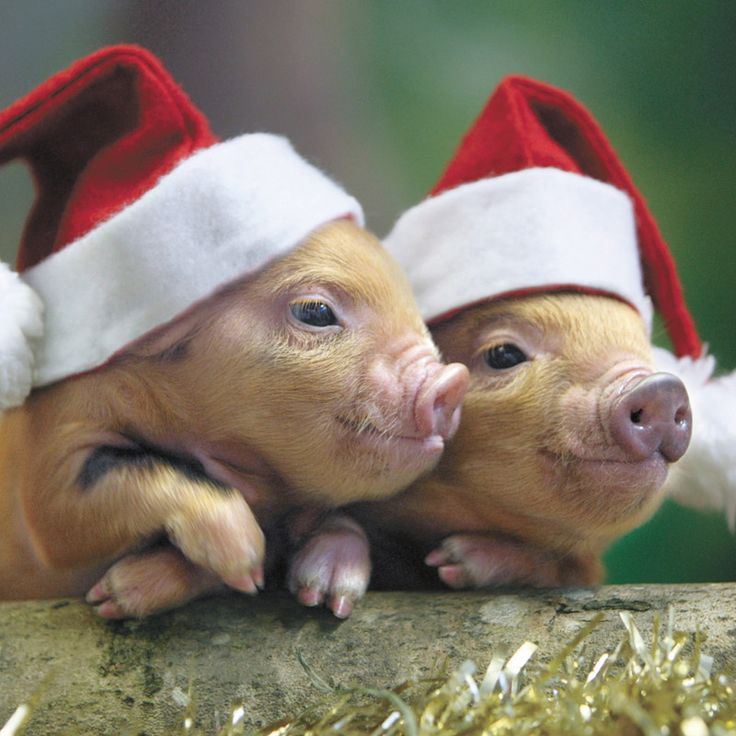 pigs in santa hat